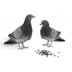 Gołębie, drób
